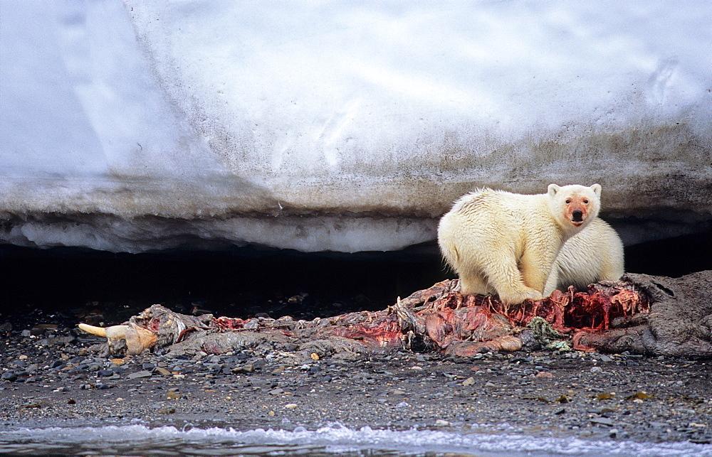 Two young Polar Bears (Ursus Maritimus) feeding of a walrus carcass (Odobenus Rosmarus). WilhelmØya, Svalbard.