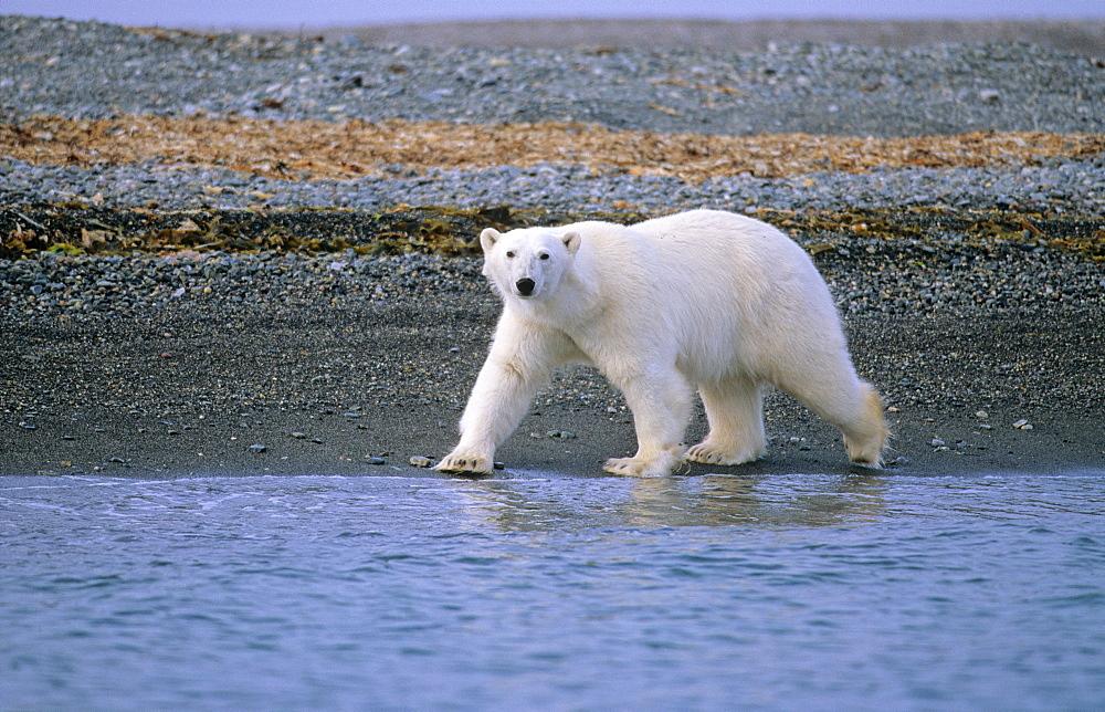 Polar Bear (Ursus Maritimus) walking along a pebbled beach. L¬gØya, Svalbard. - 909-14