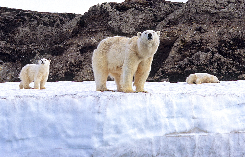 Polar Bear (Ursus Maritimus) mother with two cubs standing on an ice terrace. WilhelmØya, Svalbard.