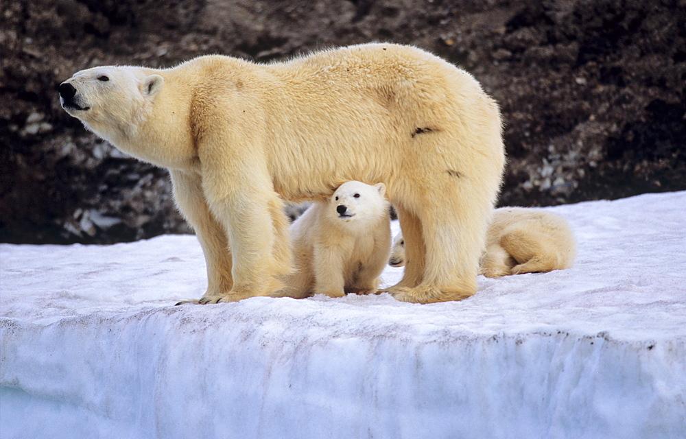 Polar Bear (Ursus Maritimus) mother protecting her two cubs . WilhelmØya, Svalbard. - 909-17