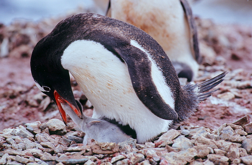 Adult Gentoo Penguin (Pygoscelis papua) trying to feed its chick with krill. Neko Harbour, Antarctica - 909-174