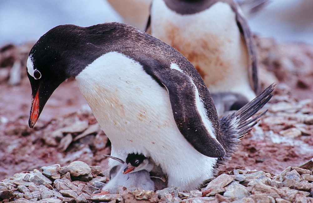 Adult Gentoo Penguin (Pygoscelis papua) with chick sitting on a nest. The chick is flapping its wings. Neko Harbour, Antarctica - 909-175