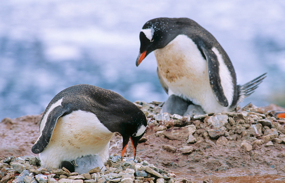 Two adult Gentoo Penguins (Pygoscelis papua) sitting both on their nests with chicks. Neko Harbour, Antarctica - 909-176