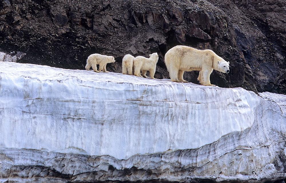 Polar Bear (Ursus Maritimus) mother with three cubs on an ice terrace. WilhelmØya, Svalbard.