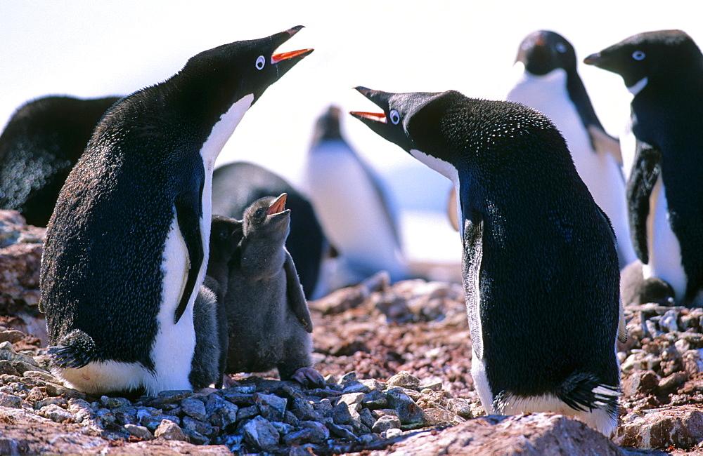 Adélie Penguin (Pygoscelis adeliae) parents communicating with both of their hungry chicks. Petermann Island, Antarctica - 909-188