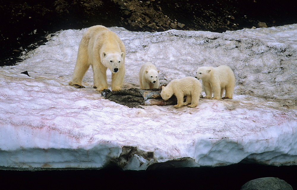 Polar Bear (Ursus Maritimus) mother with three cubs feeding on the remains of a walrus skin. WilhelmØya, Svalbard.