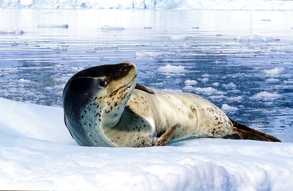 Leopard Seal (Hydruga leptonyx) lying on ice and raising its head. Paradise Harbour, Antarctica - 909-202