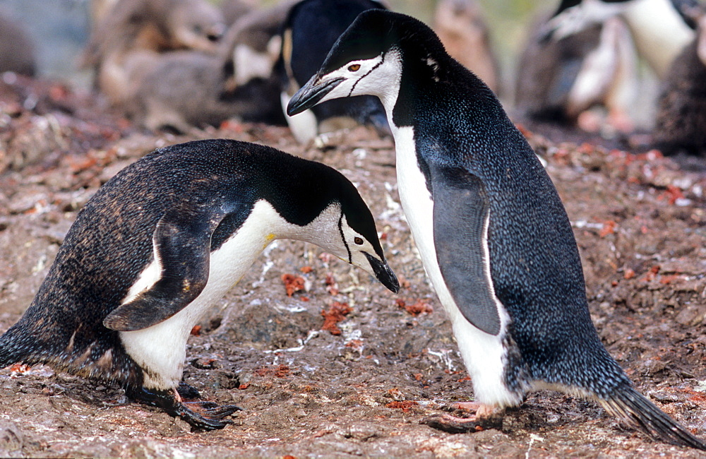 Two displaying Chinstrap Penguins (Pygoscelis antarcticus). Livingston Island, Antarctica