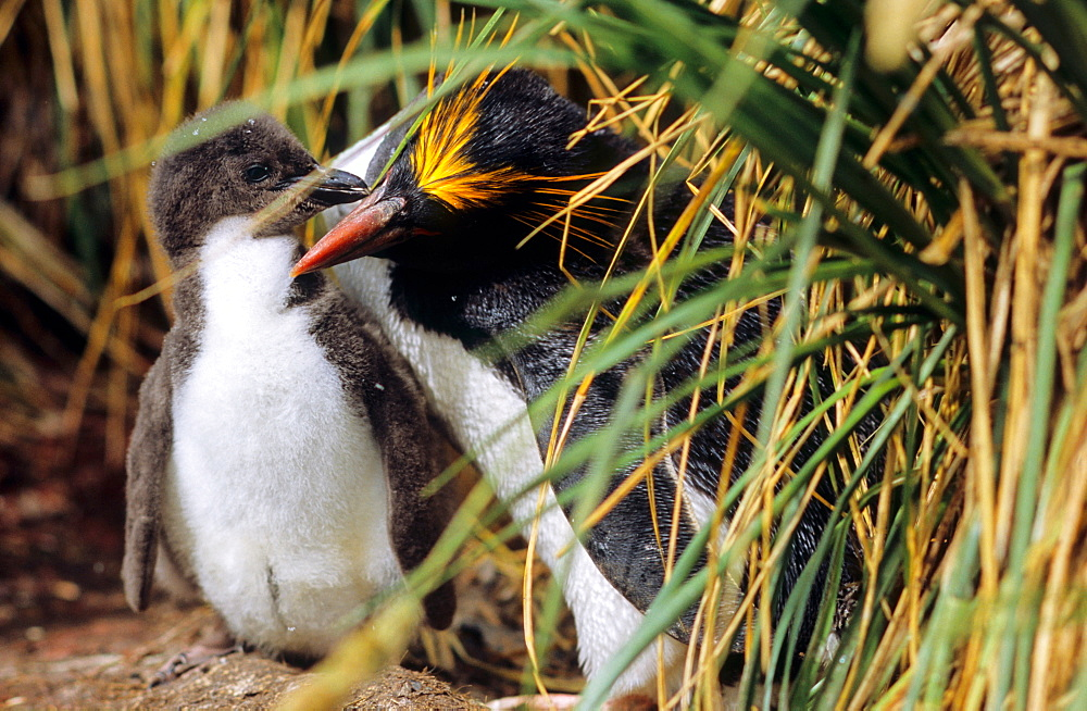 Adult Macaroni Penguin (Eudyptes chrysolophus) with chick below tussock grass. Cooper Bay, South Georgia, Subantarctic
