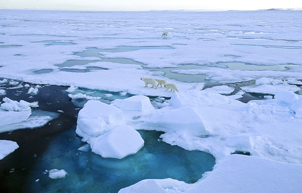 Two female Polar Bears (Ursus maritimus) accompanied by two cubs each walking off from each other after having had a close met up.  South of Nordaustlandet, Svalbard Archipelago, High Norwegian Arctic      (rr)