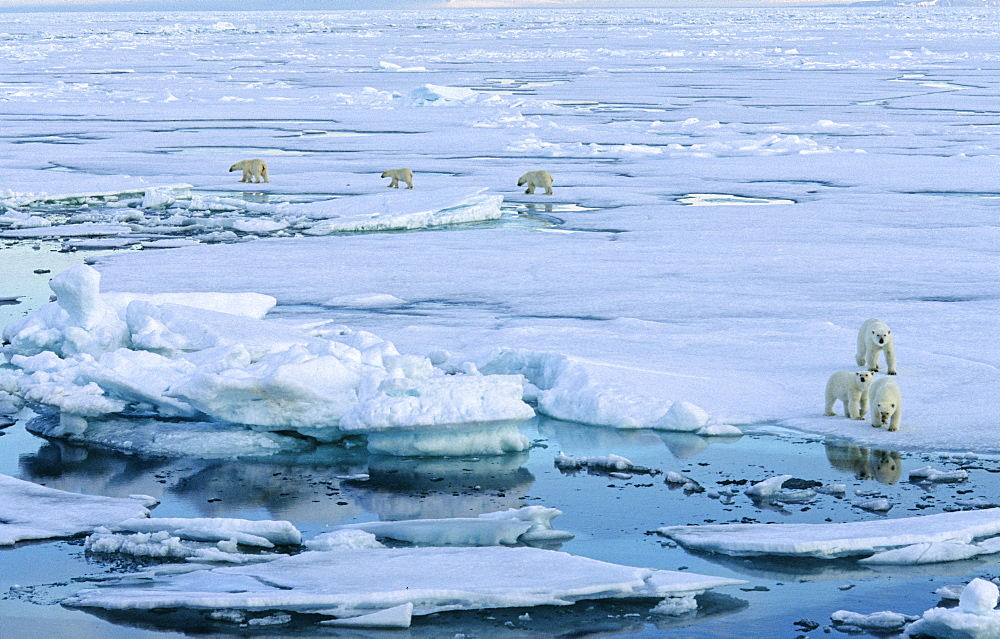 Two female Polar Bears (Ursus maritimus) accompanied by two cubs each walking on pack ice and looking to us.  South of Nordaustlandet, Svalbard Archipelago, High Norwegian Arctic