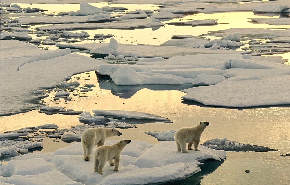 Female Polar Bear (Ursus maritimus) accompanied by two cubs, hungry and curious, walking on melting pack ice in the early morning sun.  South of Nordaustlandet, Svalbard Archipelago, High Norwegian Arctic