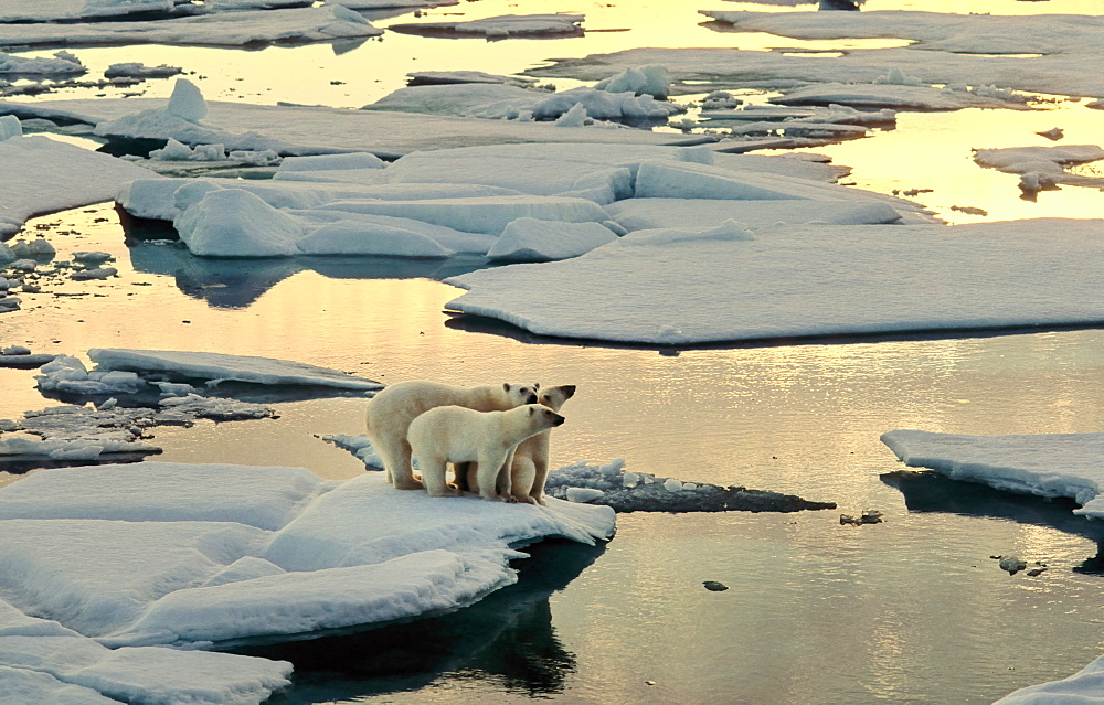 Female Polar Bear (Ursus maritimus) accompanied by two cubs seeking for mother's protection, all on melting pack ice in the early morning sun.  South of Nordaustlandet, Svalbard Archipelago, High Norwegian Arctic     (rr)