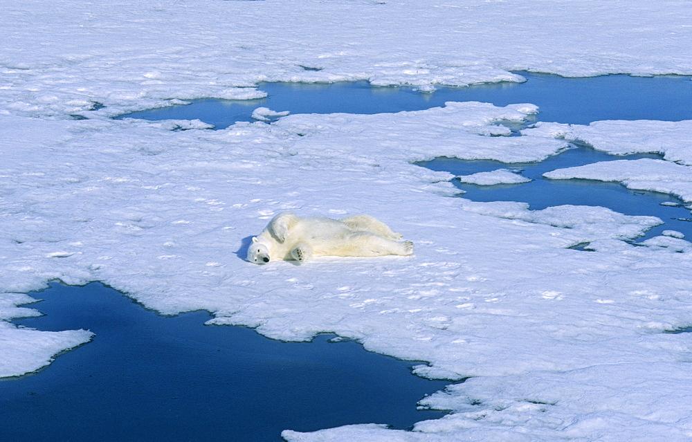 Polar Bear (Ursus maritimus) rolling on the snow for cleaning its fur.  Northwest of Nordaustlandet, Svalbard Archipelago, High Norwegian Arctic