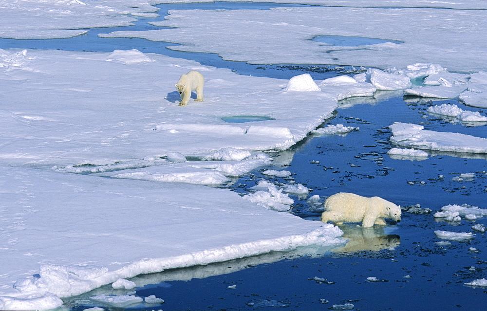 A Polar Bear (Ursus maritimus) gets followed by another bear .  Northwest of Nordaustlandet, Svalbard Archipelago, High Norwegian Arctic