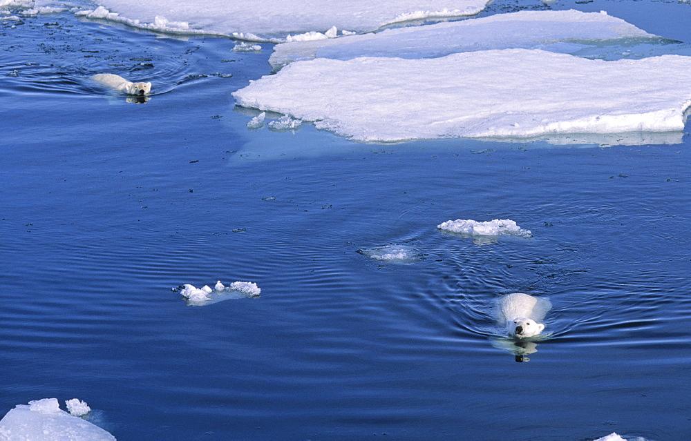 Two Polar Bears (Ursus maritimus) approaching while swimming amongst melting ice floes.  Northwest of Nordaustlandet, Svalbard Archipelago, High Norwegian Arctic
