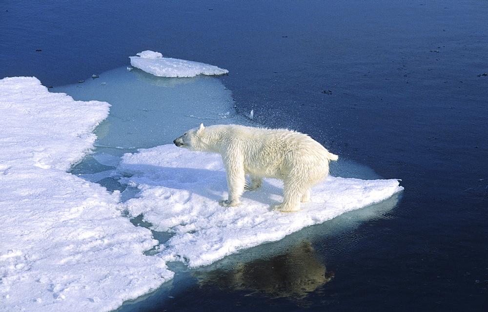 A Polar Bear (Ursus maritimus) shaking its fur after climbing out of the water .  Northwest of Nordaustlandet, Svalbard Archipelago, High Norwegian Arctic