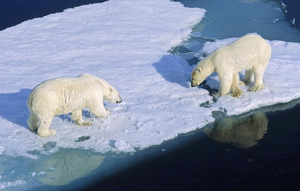 Two Polar Bears (Ursus maritimus) sniffing each other during a close meet up on an ice floe.  Northwest of Nordaustlandet, Svalbard Archipelago, High Norwegian Arctic
