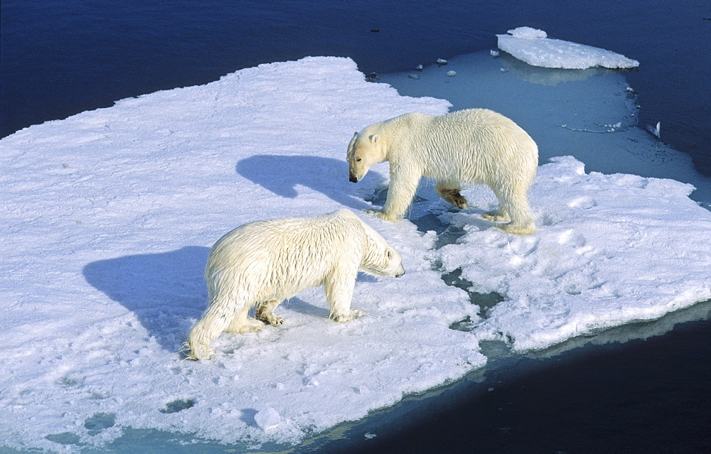 Meet up of two Polar Bears (Ursus maritimus) the weaker one has to give way.  Northwest of Nordaustlandet, Svalbard Archipelago, High Norwegian Arctic