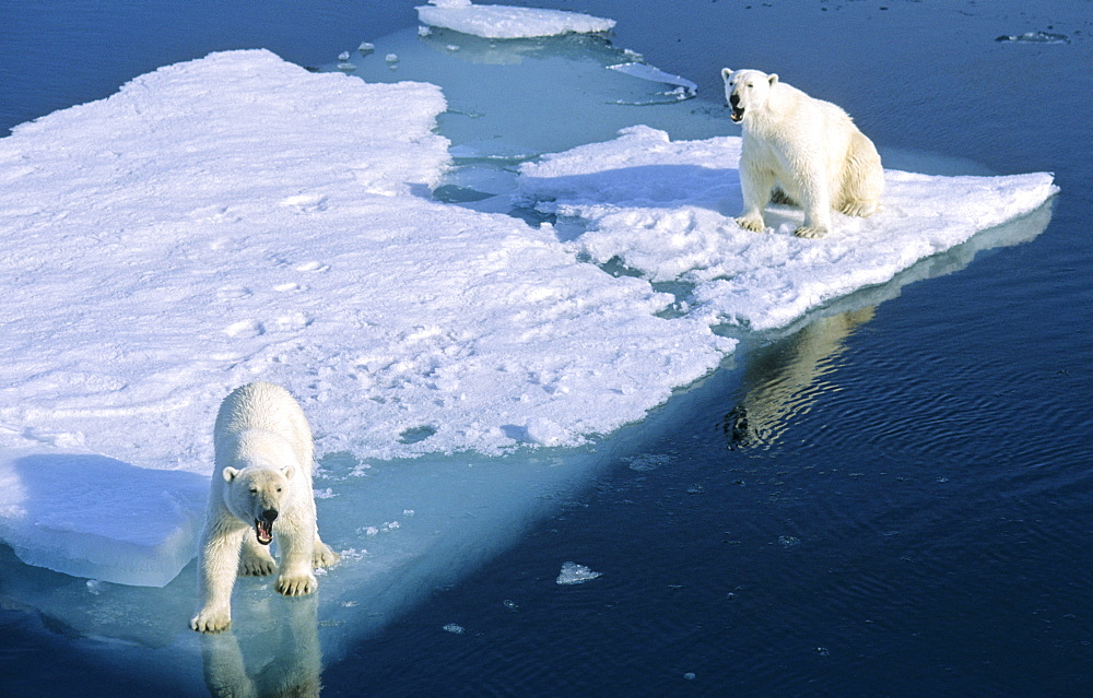 Two Polar Bears (Ursus maritimus) looking with a curious and friendly gesture from a melting ice floe.  Northwest of Nordaustlandet, Svalbard Archipelago, High Norwegian Arctic