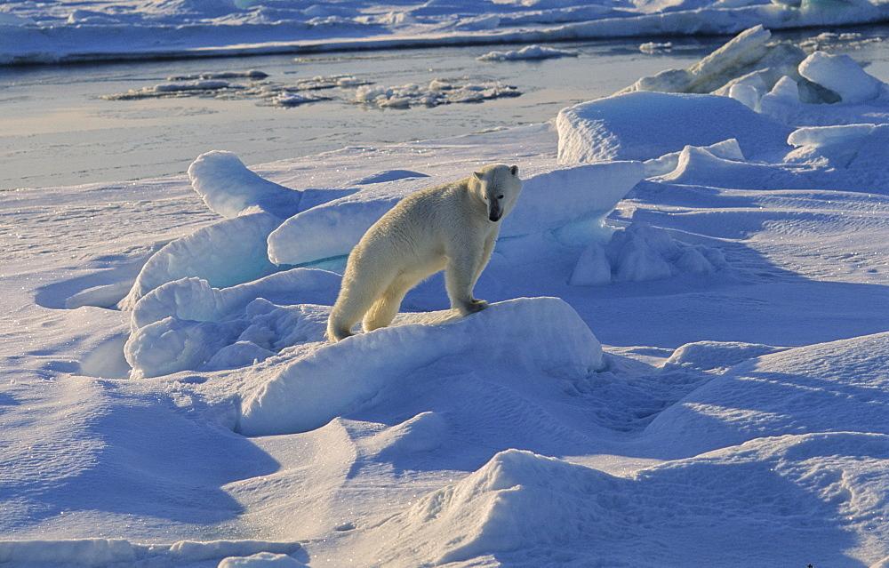 Polar Bear (Ursus maritimus) getting up and stretching his legs.  Nordenskiàldbukta, North of Nordaustlandet, Svalbard Archipelago, High Norwegian Arctic