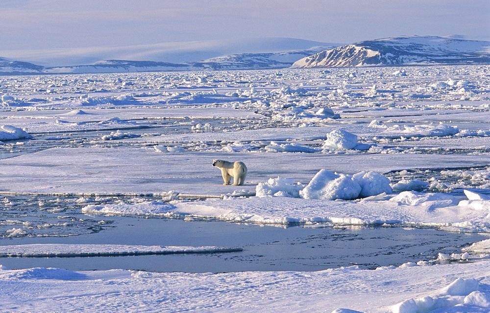 Polar Bear (Ursus maritimus) standing on a huge pack ice field, in the background a mountain silhouette .  Nordenskiàldbukta, North of Nordaustlandet, Svalbard Archipelago, High Norwegian Arctic