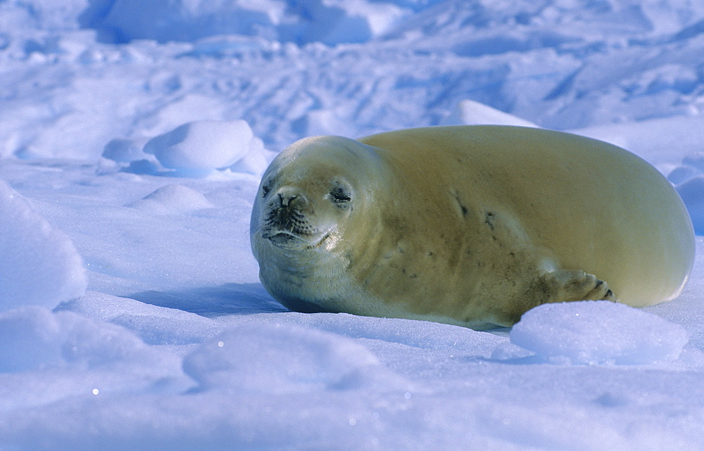 Crabeater Seal (Lobodon Carcinophaga) lying asleep on an ice floe.  Danco Island, Antarctic Peninsula, Antarctica.