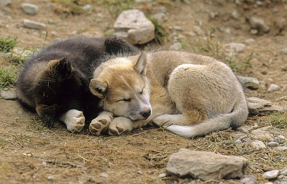 Sleeping sled dogs. Daneborg, headquarters of the Sirius Sled Dog Patrol, NE-Greenland.