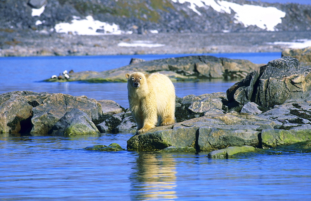 'Dirty' face Polar Bear (Ursus Maritimus) standing on rocks.  Hamilton bay, Raudfjord, Svalbard, High Norwegian Arctic.