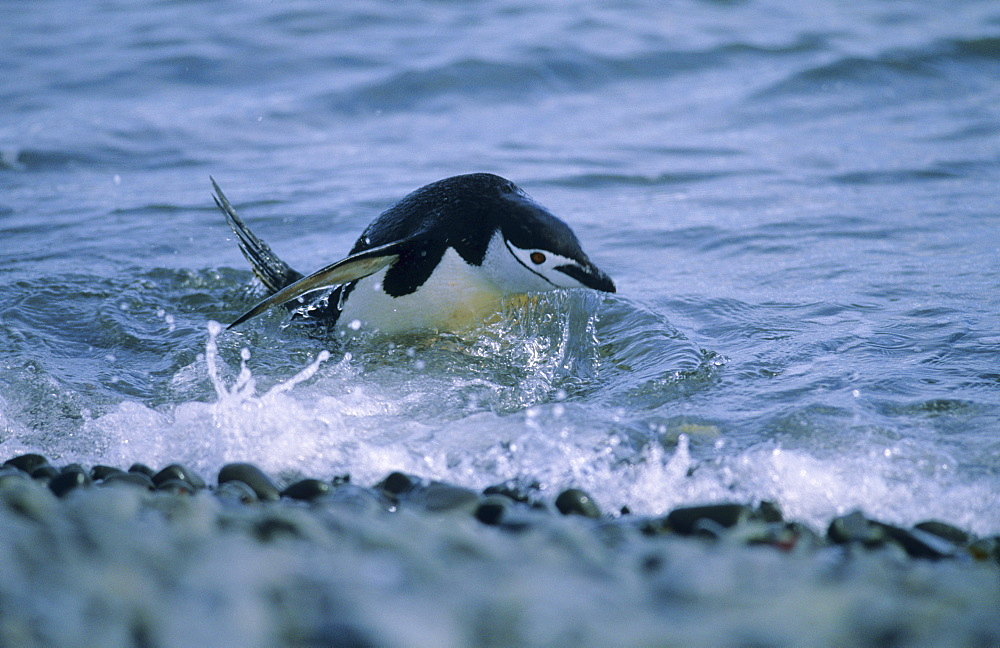 Chinstrap Penguin (Pygoscelis Antarcticus) jumping out of water.  Hannah Point, Livingston Island, Antarctic Peninsula, Antarctica.