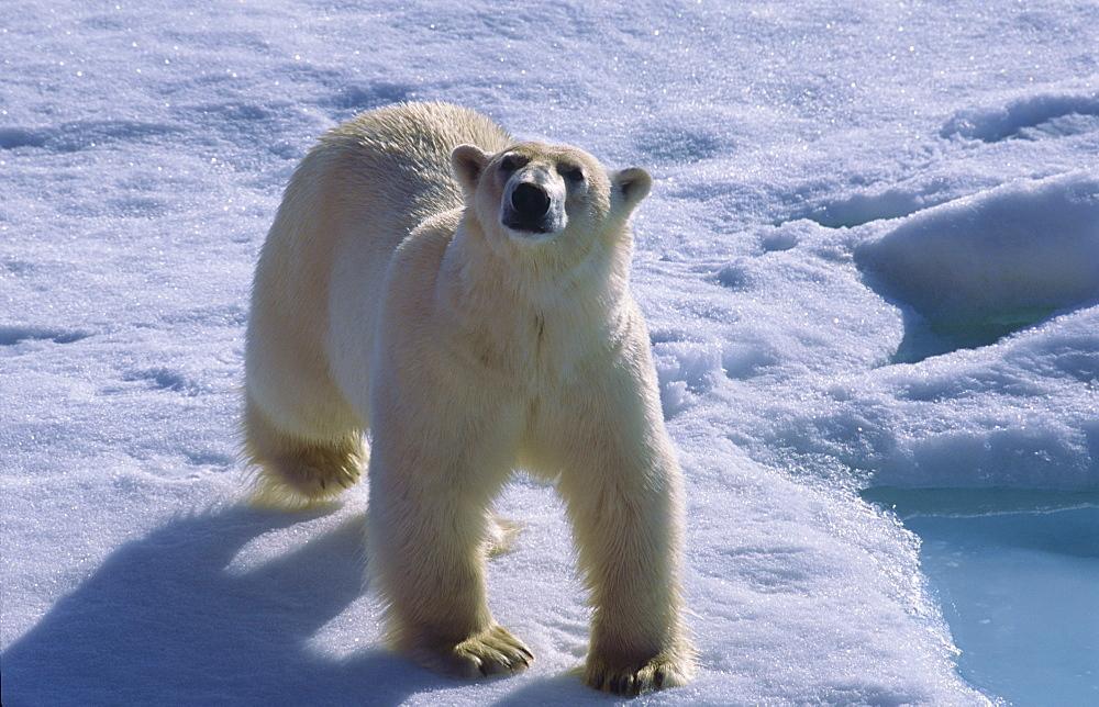 Polar bear (Ursus maritimus) walking on drift ice and looking towards camera. North of Nordaustlandet, Svalbard Archipelago, High Norwegian Arctic.