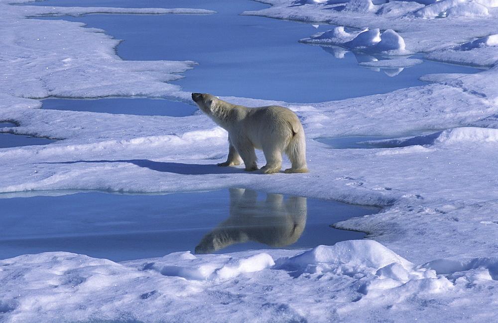 Polar bear (Ursus maritimus) walking on drift ice with its mirror on a meltwater pond.  North of Nordaustlandet, Svalbard Archipelago, High Norwegian Arctic.