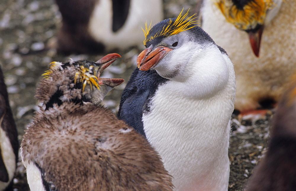 Moulting and still fighting Royal Penguins (Eudyptes Schlegeli). Sandy Bay, Macquarie Island, Subantarctic Australia.
