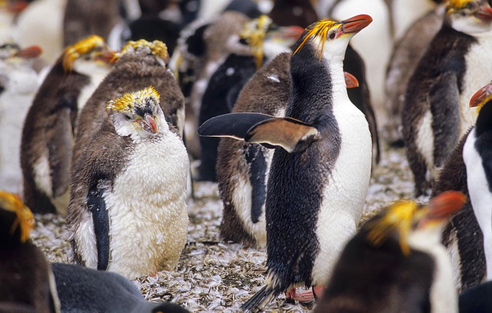 Moulting Royal Penguins (Eudyptes Schlegeli). Sandy Bay, Macquarie Island, Subantarctic Australia.