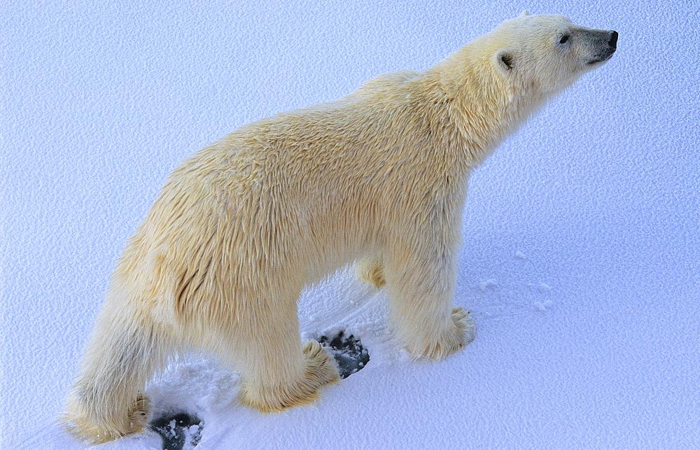Polar Bear (Ursus Maritimus) walking on snow. Rijpfjorden, Svalbard. - 909-9