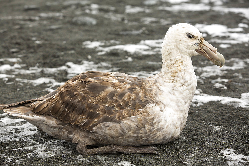 A Southern Giant Petrel, Macronectes giganteus, on the beach at Gold Harbour, South Georgia, Southern Ocean.