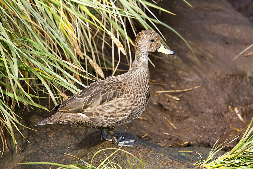 A South Georgia Pintail, Anas georgica georgica, a small species of duck that is endemic too and only found on South Georgia, Southern Ocean.
