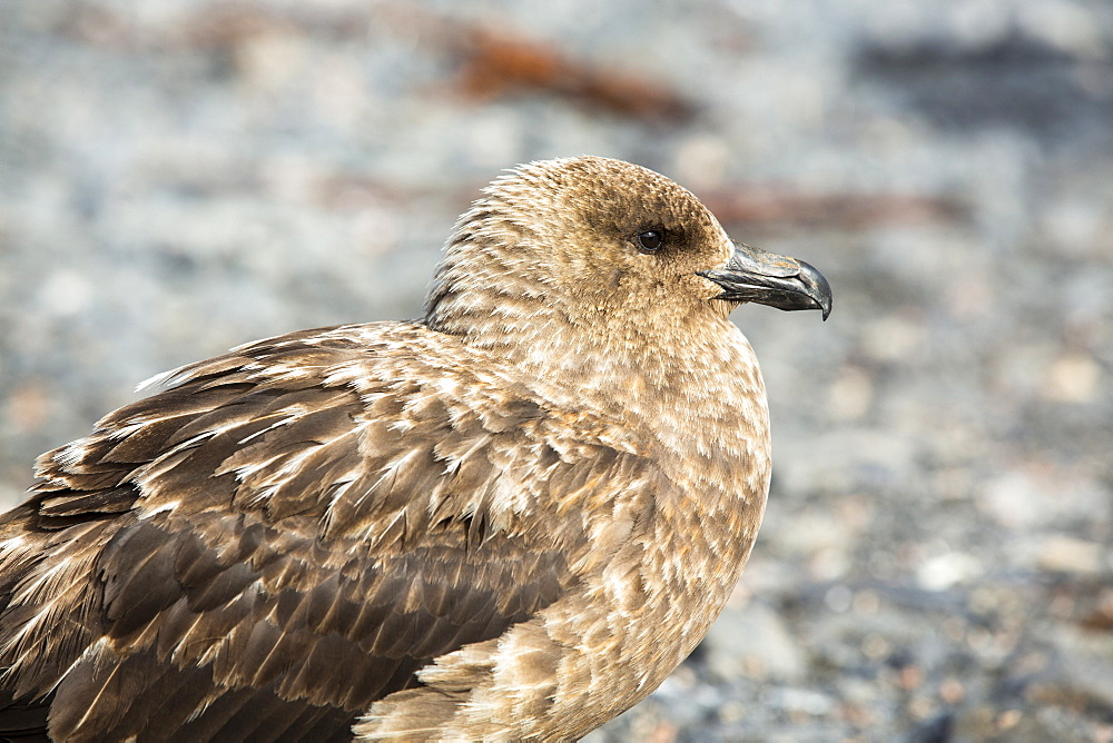 A Brown Skua, Stercorarius antarcticus on the beach at Salisbury Plain, South Georgia, Southern Ocean.