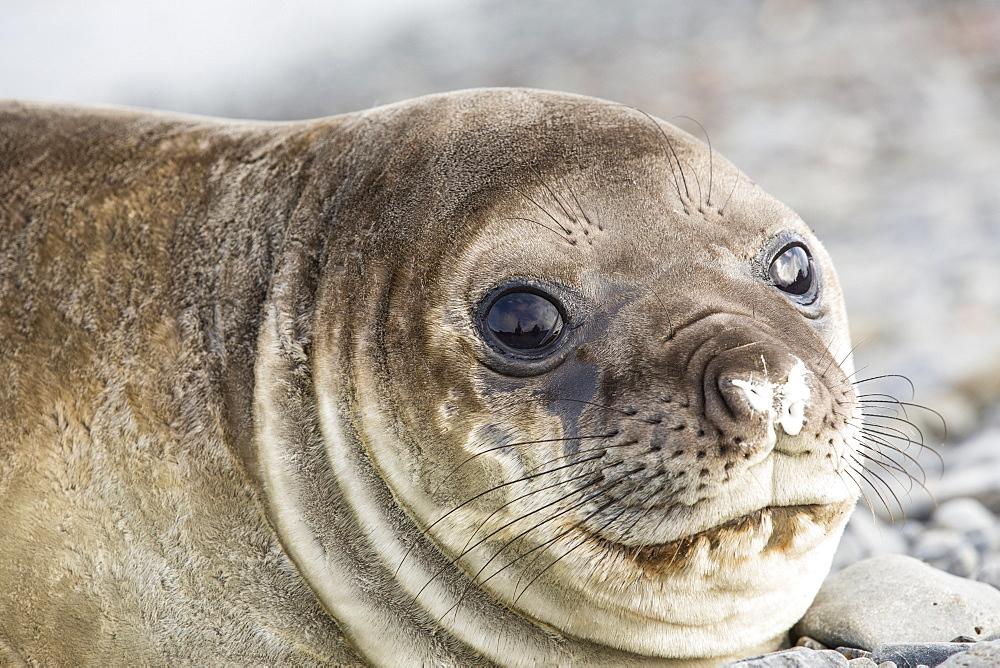 Southern Elephant Seal; Mirounga leonina, on Prion Island, South Georgia, Antarctica.