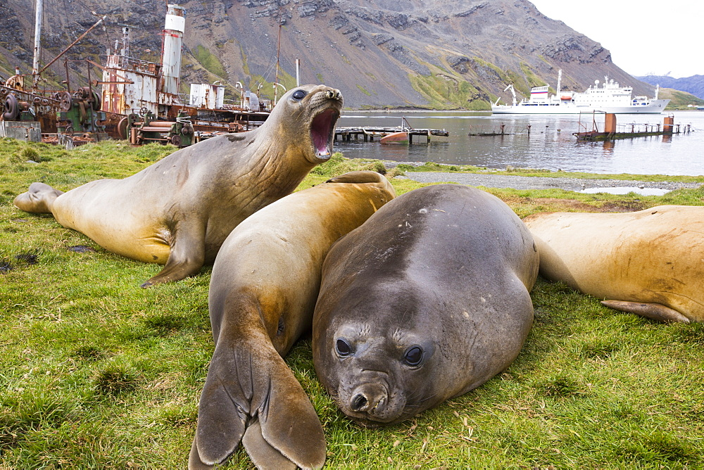 Southern Elephant Seal; Mirounga leonina, in Grytviken South Georgia, Antarctica, with an old whaling ship behind.