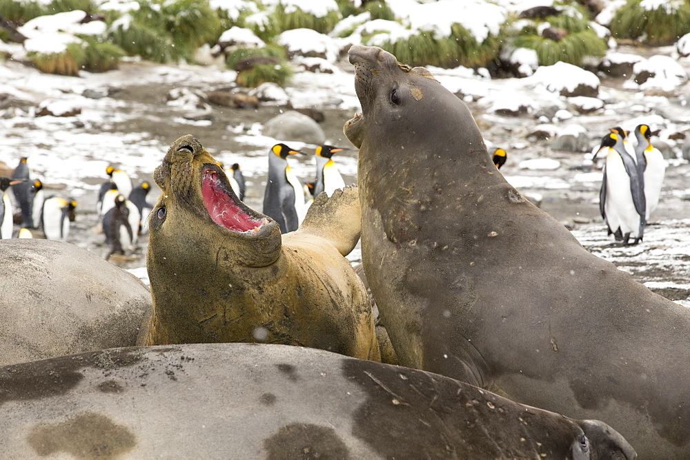 Large bull Southern Elephant Seal; Mirounga leonina, fighting at Gold Harbour, South Georgia, Antarctica, in a King Penguin colony.