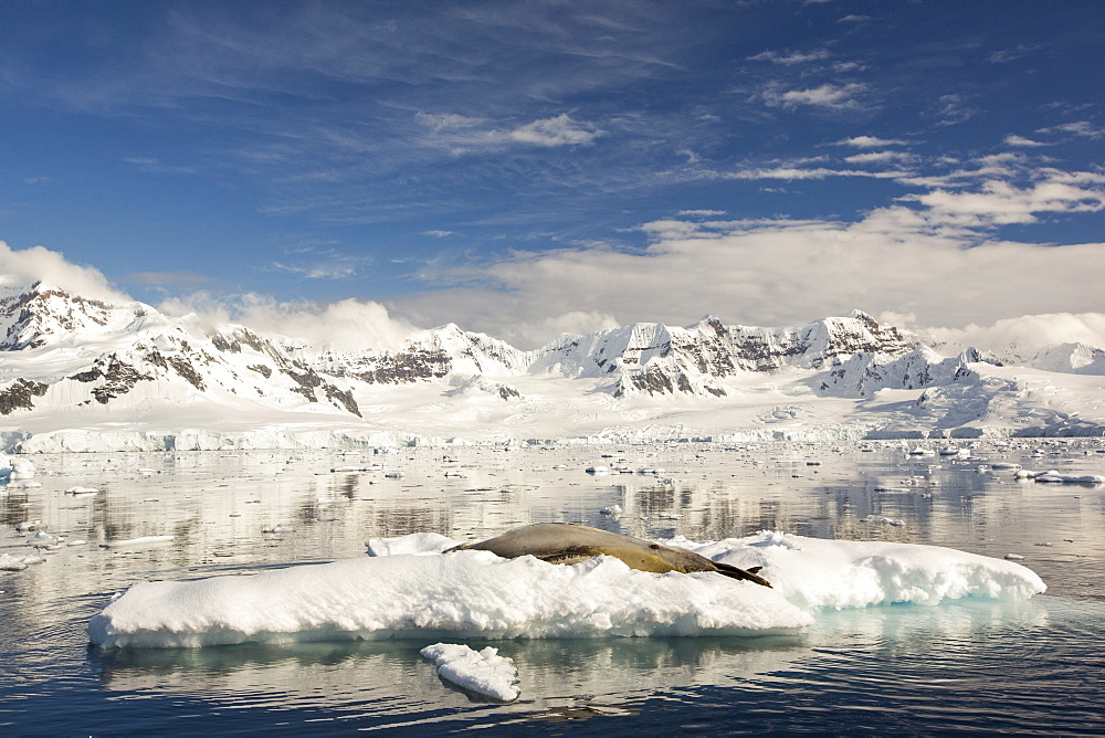A Leopard Seal (Hydrurga leptonyx) hauled out on floe ice in the Gerlache Strait,Antarctica