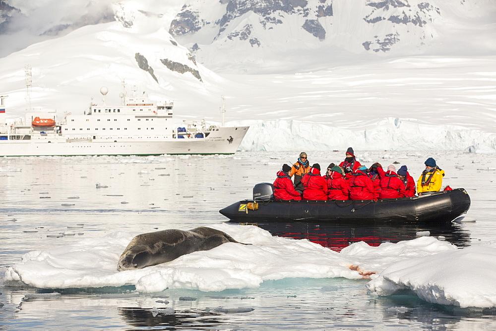 A Leopard Seal (Hydrurga leptonyx) hauled out on an iceberg in the Drygalski Fjord, Antarctic Peninsular,
