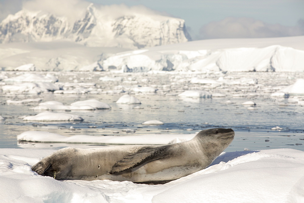 A Leopard Seal (Hydrurga leptonyx) hauled out on an iceberg in the Drygalski Fjord, Antarctic Peninsular.