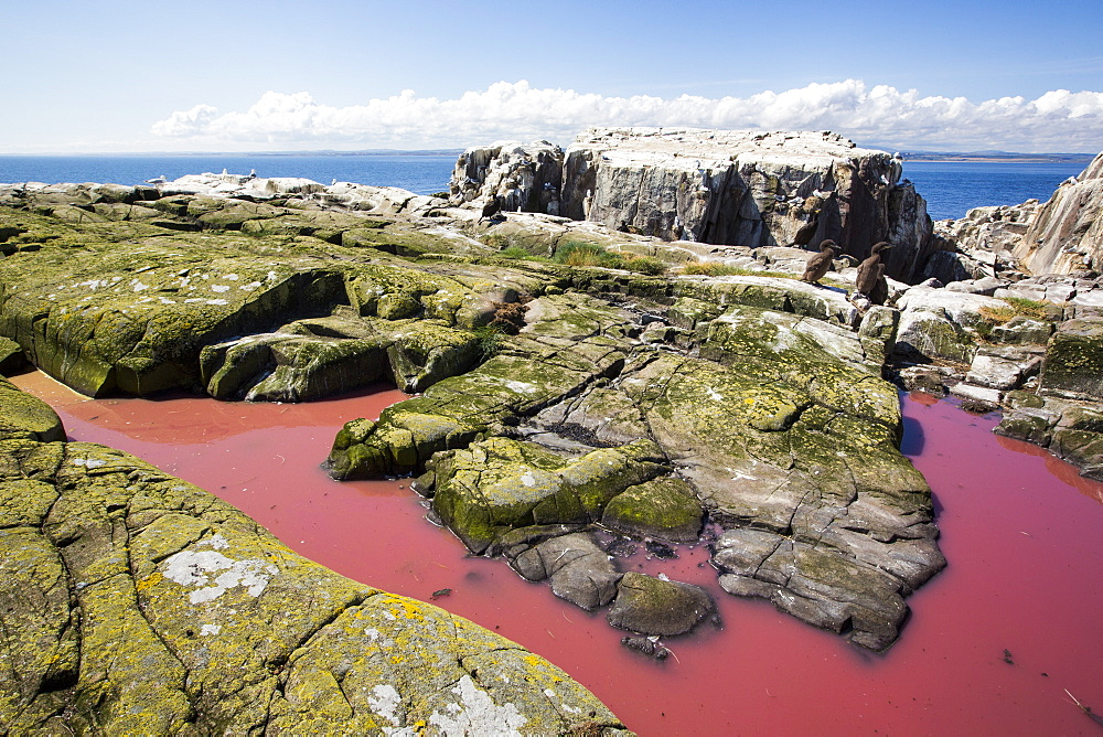 A pool coloured red from algae that have been fertilized by seabird guano on the Farne Islands, Northumberland, UK.
