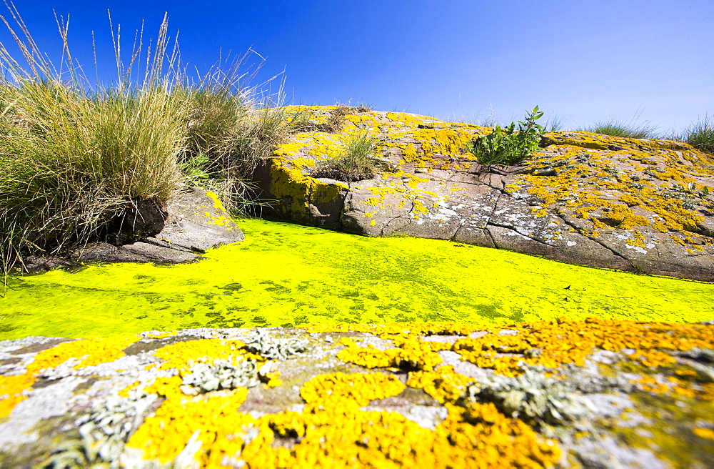Green algae and yellow lichen on the Farne Islands, Northumberland, UK.