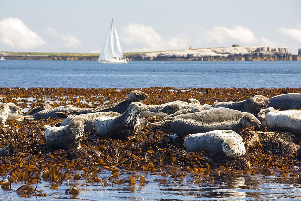 Common Seals, Phoca vitulina, on the Farne Islands, Northumberland, UK, with a sailing boat behind.
