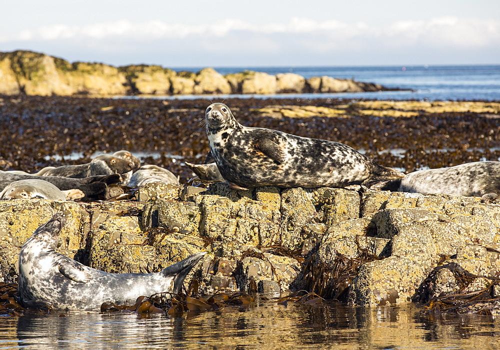 Common Seals, Phoca vitulina, on the Farne Islands, Northumberland, UK.