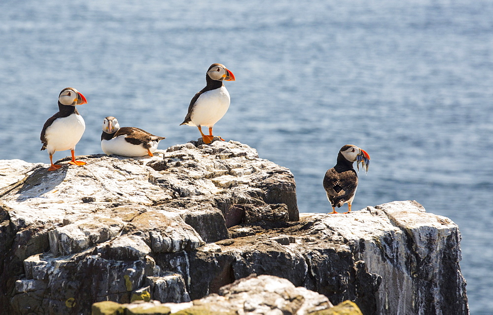 Atlantic Puffin, Fratercula arctica, on the Farne Islands, Northumberland, UK, with one with a beak full of Sand Eels.