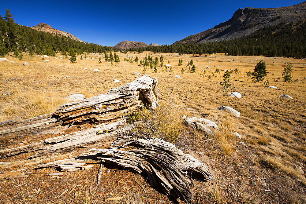 A decaying tree stump in a dried up meadow in Yosemite National Park, California, USA. Most of Califoprnia is in exceptional drought, the highest classification of drought.